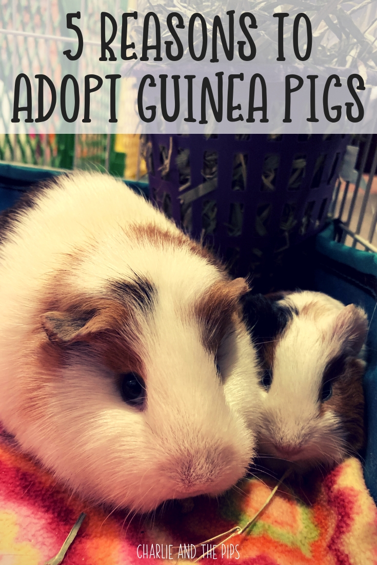 Deciding to rescue animals is a big deal, it requires a lot of thought and some research. Here are our top 5 reasons to rescue guinea pigs!