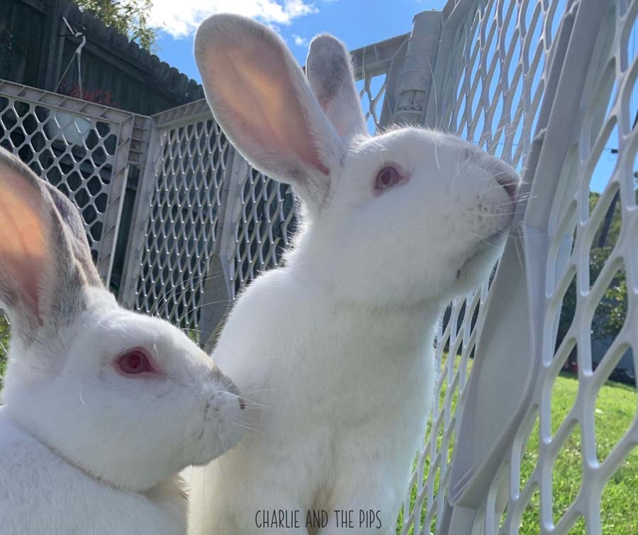 Bringing home a new rabbit is exciting! It's also a little hectic. Here are some of our most frequently asked questions...with answers! We are answering your questions about rabbits right here to try and help you learn as much as possible about your new furry friend! #rabbits #bunnies