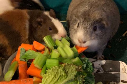 If you've ever brought home a new guinea pig I'm sure you've wondered what it is safe to feed them! Today we're talking about safe foods for guinea pigs and answering that #1 question: what can guinea pigs eat?