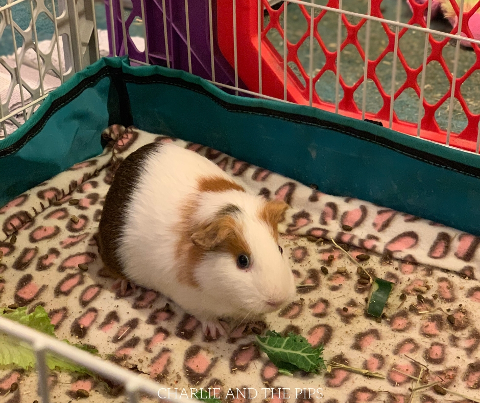 Feeding pets can get expensive, it's one of the top costs of pet ownership. My tips for frugal pet food are mostly for guinea pigs and rabbits in this case.