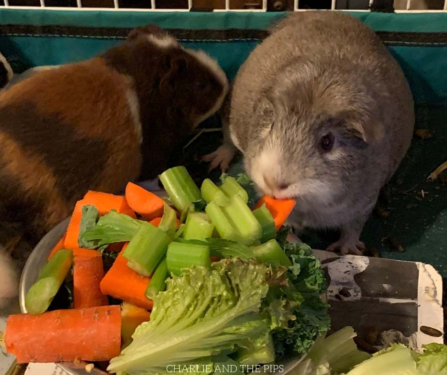 So you've brought home a new guinea pig? Now what?! Right?! Here are our best quick tips for guinea pig care to make life easier and happier for everyone!