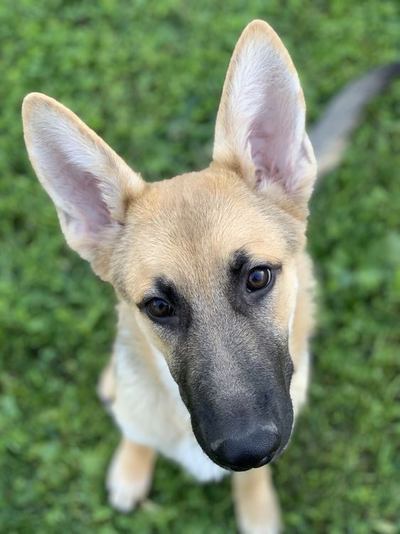 It's been a few months with our new German Shepherd baby, Burton Guster. He's the joy of our lives most days ;) He's been growing like a weed and since I've been rather remiss in posting I thought, what better way to jump back on the wagon than with some adorable photos of my favorite guy.