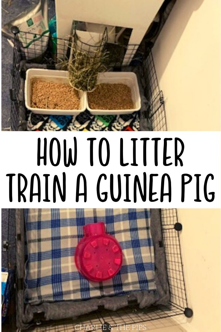 Pin for how to litter train a Guinea Pig showing litter boxes