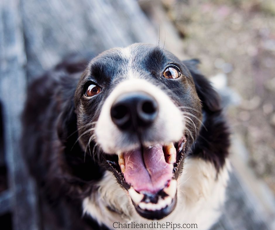 Today I found a stray dog and I quickly realized that I wasn't sure what to do right away! Here's what to do when you find a stray dog!