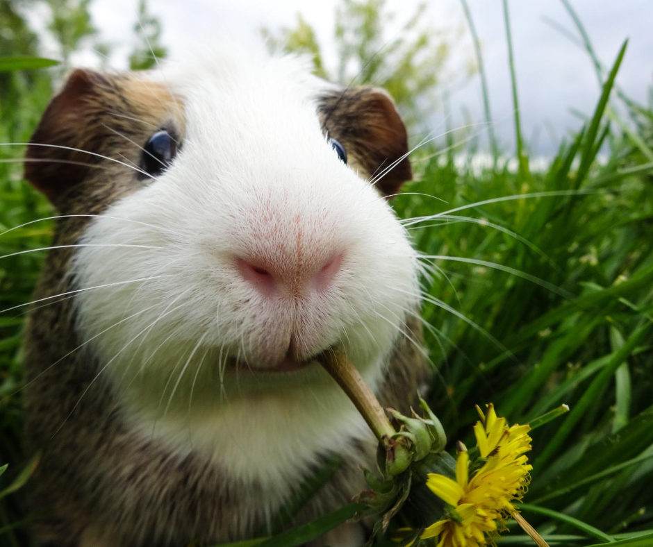 Today we're talking about the best guinea pig cages. If you are planning to get a guinea pig you'll need a home for it, these are some of the best options for your new furry friend!
